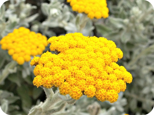 Helichrysum Oil: Uses, Benefits & Shop | The Dreaming Earth