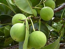 tamanu-Calophyllum-inophyllum