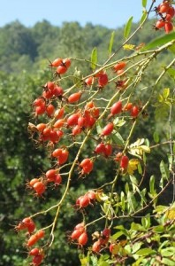 Rosehip Seed Oil tree