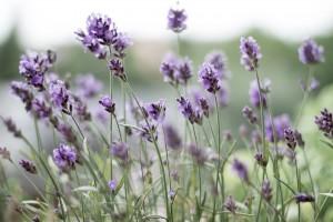 lavender-399273_1920