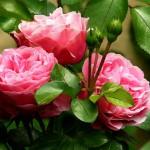 roses-279583_1920