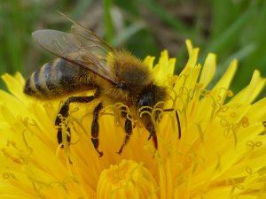dandelion-bee