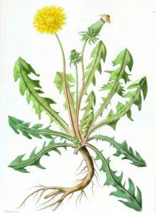dandelion botanical final