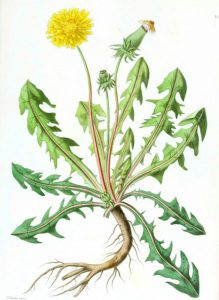 dandelion botanical plant